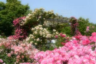 屋外,カラフル,バラ,お花,薔薇,神奈川県,日中,ばら,春薔薇,春バラ,春ばら