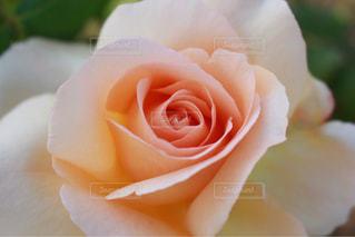 花,ピンク,桃色,ばら
