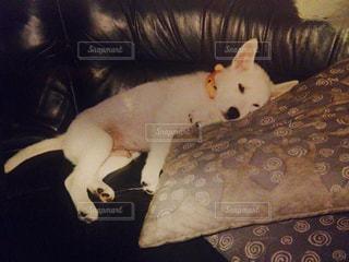 ソファの上に横たわる紀州犬の写真・画像素材[1206931]