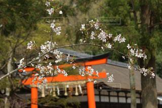 自然,風景,建物,花,春,桜,森林,屋外,京都,神社,晴れ,葉,樹木,お花見,草木,Spring,上賀茂神社,さくら,ぴんく