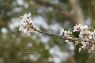 自然,風景,建物,花,春,桜,森林,京都,神社,晴れ,葉,樹木,お花見,草木,Spring,上賀茂神社,さくら,ぴんく