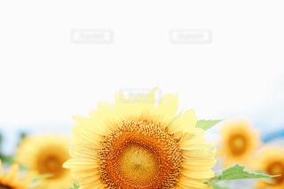 向日葵と空の写真・画像素材[1133209]