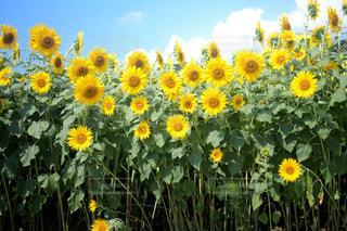 黄色の花の束の写真・画像素材[1133217]