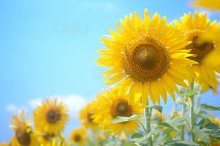 黄色の花の写真・画像素材[1133221]