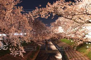 川と夜桜の写真・画像素材[1133235]