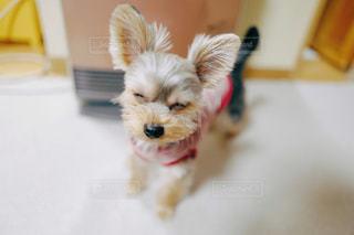 茶色と白の小型犬の写真・画像素材[1184576]