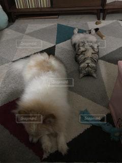 犬,猫,動物,屋内,部屋,室内,床,哺乳類