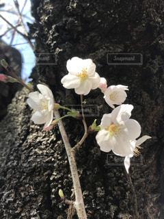 花,桜,桜の開花