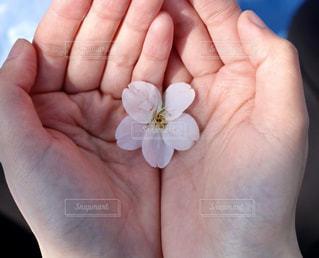 花,春,桜,ピンク,手のひら,お花見