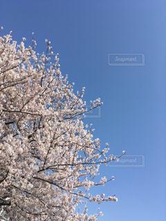 桜の木と青空の写真・画像素材[1099406]