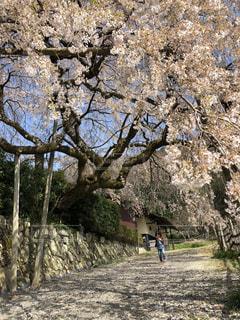 枝垂れ桜が映える青空の写真・画像素材[1096253]