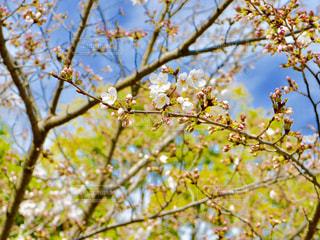 春はもうすぐの写真・画像素材[1097934]