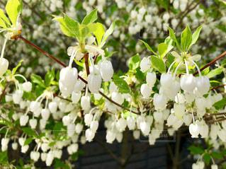 白い花の写真・画像素材[1157190]