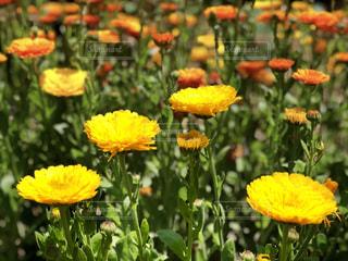 黄色とオレンジの花の写真・画像素材[1157235]