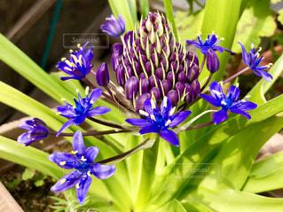 紫の花の写真・画像素材[1157245]