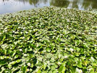 密集する睡蓮の葉の写真・画像素材[1158167]
