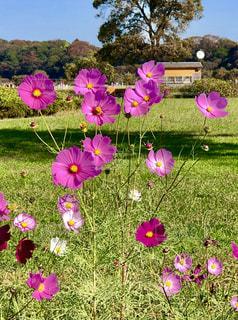 秋桜の写真・画像素材[1970691]