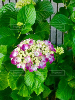 紫陽花の写真・画像素材[1986659]