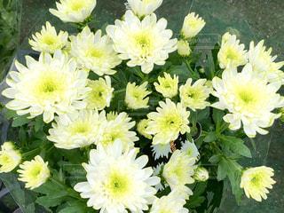 菊の写真・画像素材[1995617]