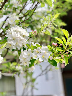 桜の写真・画像素材[1995656]