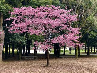桜の写真・画像素材[1995665]