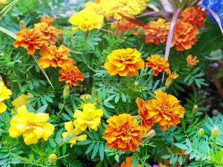 黄色とオレンジの写真・画像素材[2003416]