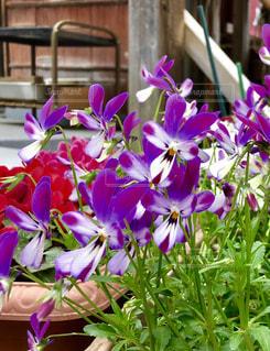 紫の花の写真・画像素材[2009685]