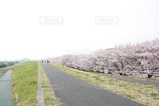 桜,桜並木,埼玉県,戸田公園,2018年3月