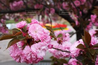 桜,八重桜,浦和,埼玉県,牡丹桜,2018年4月