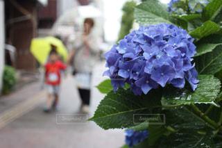 花,雨,傘,あじさい,紫陽花,梅雨