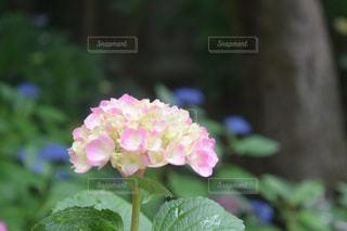 紫陽花,アジサイ