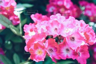 薔薇の写真・画像素材[1938842]