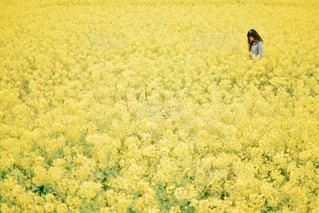 菜の花畑の写真・画像素材[1941064]