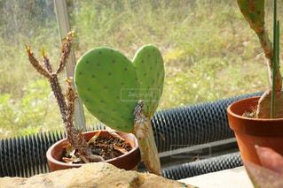 植物,ハート,サボテン