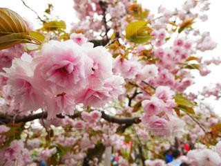 花,春,桜,花見