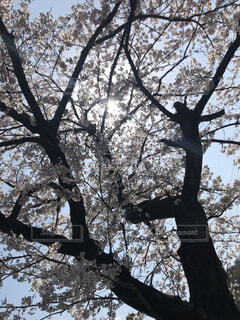 下から見た桜の木の写真・画像素材[4441958]