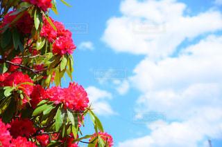 シャクナゲの花と青空の写真・画像素材[1121977]