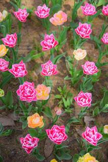 バラみたいなチューリップの写真・画像素材[1125122]