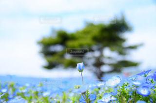 ネモフィラの蕾と松との写真・画像素材[1125137]