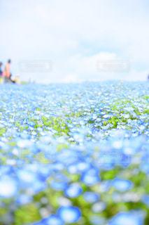 ネモフィラの丘の写真・画像素材[1222507]