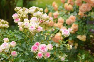 ミニ薔薇の写真・画像素材[1249430]