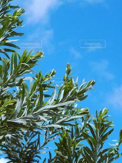 オリーブのような雰囲気の木と青空の写真・画像素材[1095473]