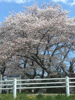 晴天の桜の写真・画像素材[1095684]