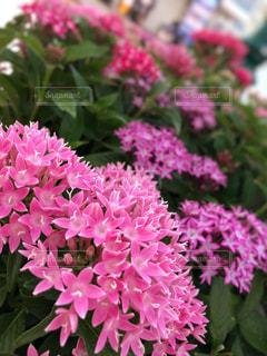 花,屋外,ピンク,鮮やか,草木,写真素材