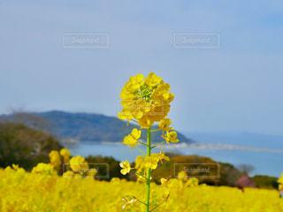 黄色の花の写真・画像素材[1209545]