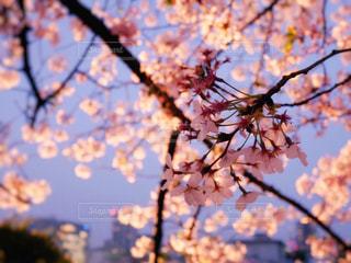 夜桜の写真・画像素材[1833102]