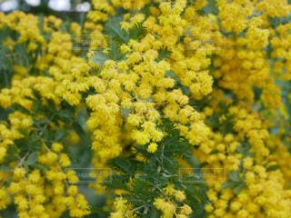 ミモザの花の写真・画像素材[1950309]