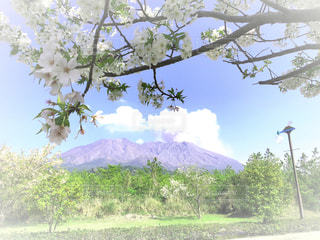 自然,桜,桜島