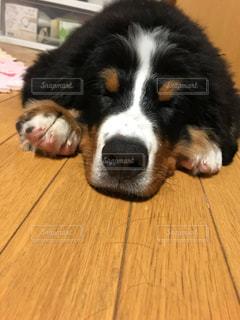 室内,子犬,爆睡,大型犬,バーニーズマウンテンドック