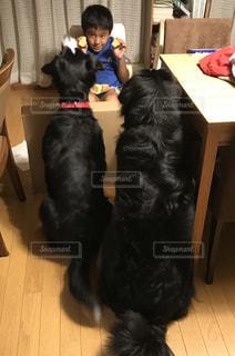 子供,トレーニング,大型犬,待て,バーニーズマウンテンドック